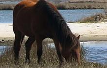 Maryland's wild horses