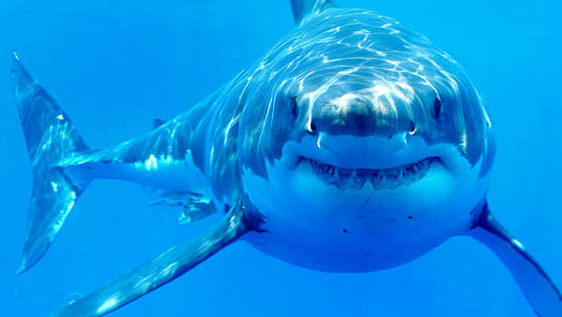 Where Do Great White Sharks Live? - Shark Facts and ...