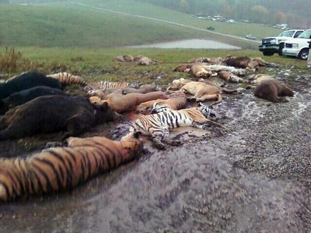 2011年10月19日,在俄亥俄州Zanesville附近的马斯金格姆县动物农场的一个谷仓附近散落着动物尸体。
