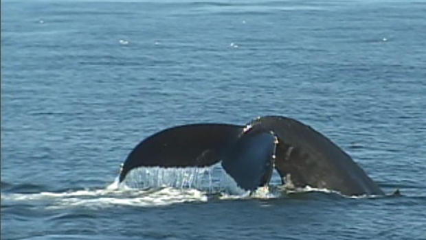Fin of one of the gray whales spotted off Southern California this month