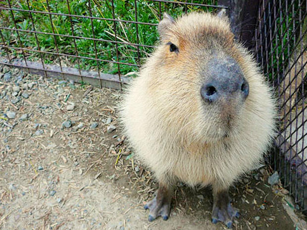 Capybara Unusual Pets That Are Legal To Own Pictures