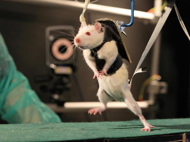 Injured rats walk thanks to spinal nerve stimulation