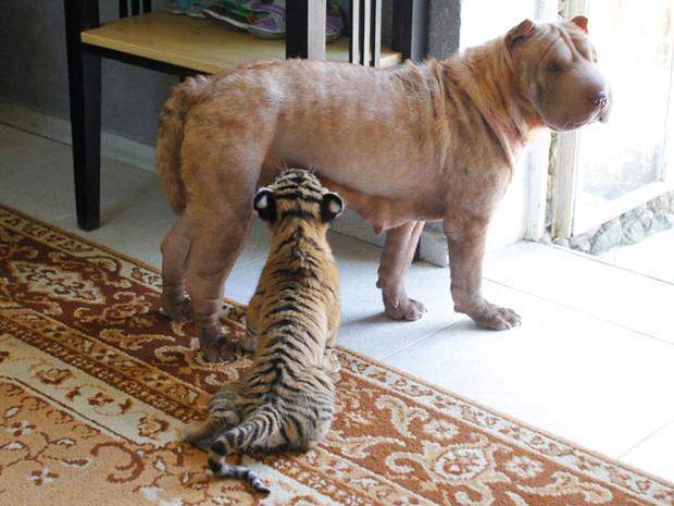 Siberian tigers' new surrogate mom