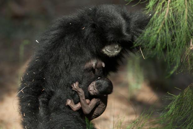 Rare siamang gibbon born in Tel Aviv Zoo
