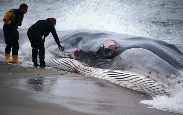 Rescue attempt fails to save beached whale
