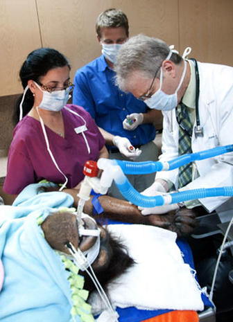 Orangutan undergoes human cancer treatment
