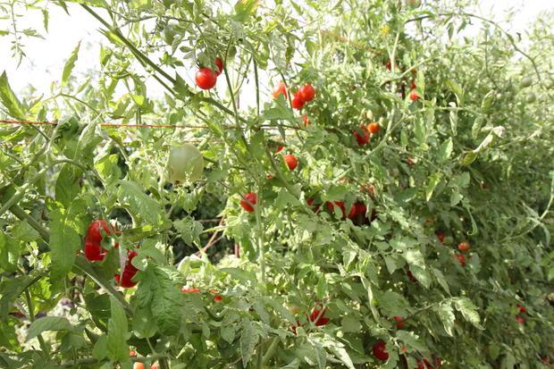 Heirloom Tomatoes at Kendall-Jackson Tomato Festival 2012
