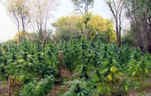 Huge marijuana field found in Chicago