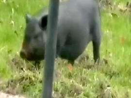 This black pot-bellied pig has been tearing up neighbors lawns in Midland Heights, Penn., and they're not quite sure how to handle it.