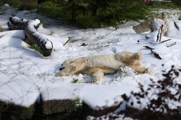 Polar bears celebrate birthday at zoo