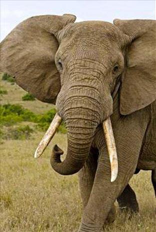 Blood & ivory: Elephant poaching in Kenya