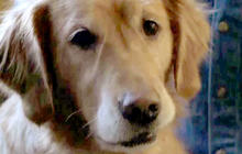 Diabetes service dog saves owner's life