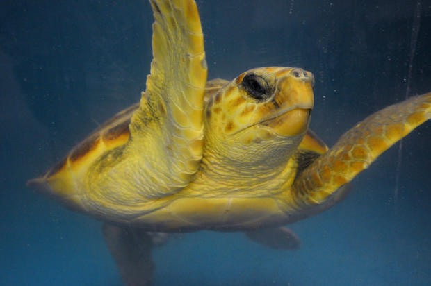 Rescuing sea turtles from cold waters