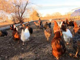 Shelby Grebenc's chickens