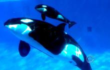 Sea World welcomes newborn baby orca whale
