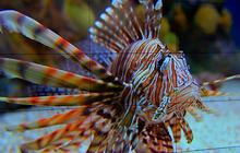 Lionfish threaten native fish in U.S. coastal waters