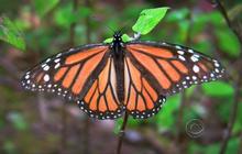 Passage: Monarch butterflies