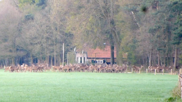 Deer Fencing Deer Calmly Jump Over Fence