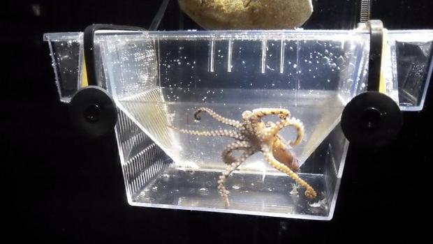 Enoshima Aquarium's resident blue-ringed octopus