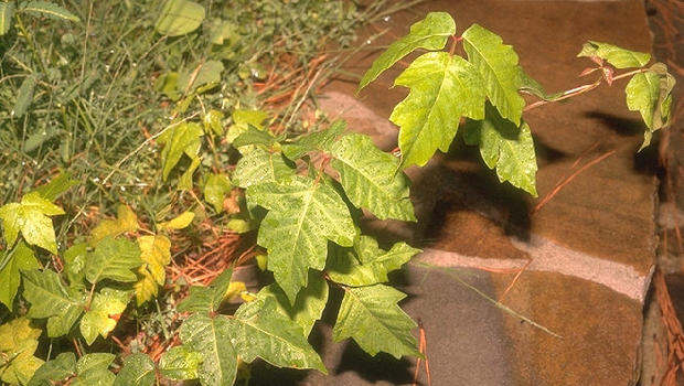 Poison ivy, poison oak becoming stronger over time