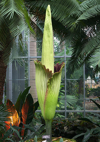 """Corpse flower"" in bloom"