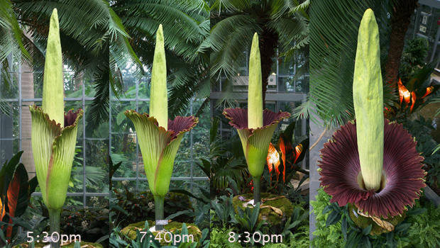 Corpse Flower Blooming At U S Botanic Garden Cbs News