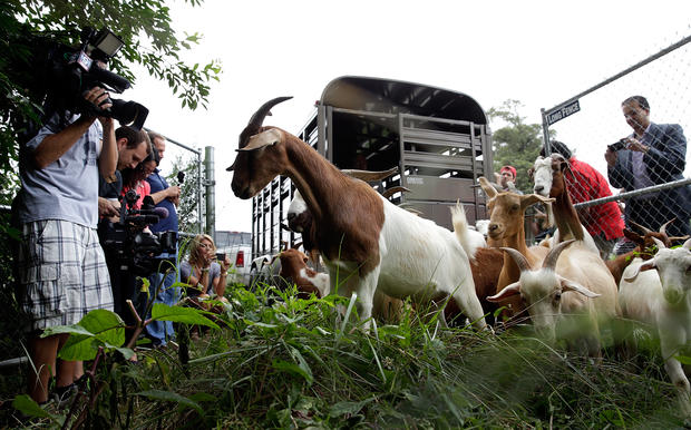 """""""Eco-Goats"""" to the rescue"""