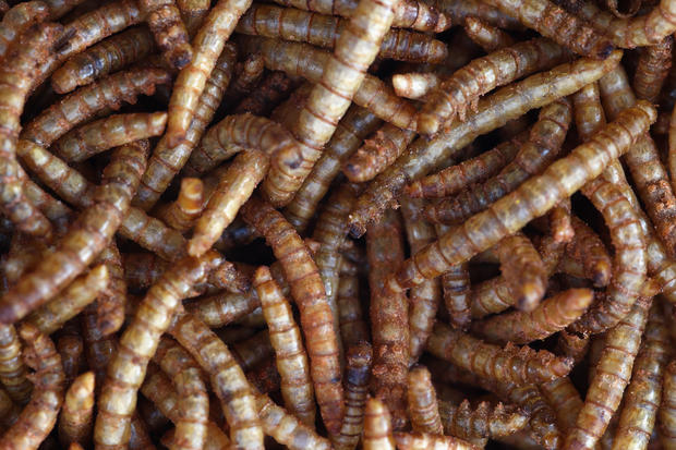BBQ mealworms and pigeon burgers on menu in UK