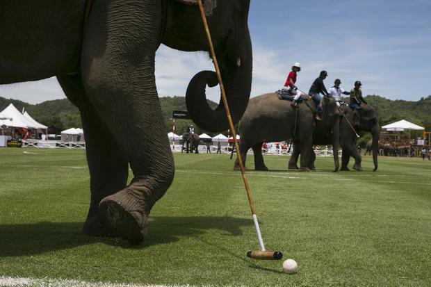 Elephants dominate the polo field