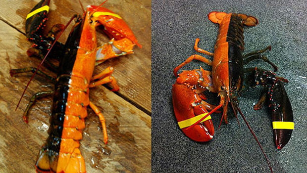 Fisherman's multi-colored lobster catch 1 in 50 million - CBS News