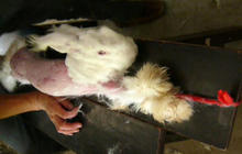 PETA releases video of angora rabbit investigation in China