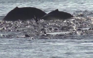 Raw video: Humpback whales feast on record number of anchovies