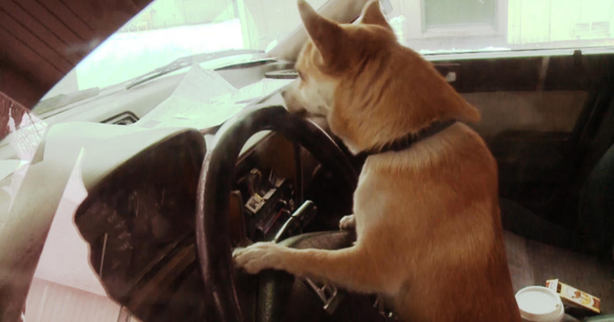 Wash. Chihuahua's joyride ends in fender-bender - CBS News