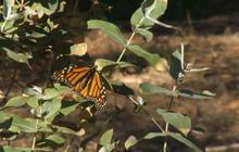 Nature: Monarch butterflies