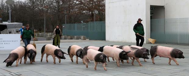 German protest goes hog wild