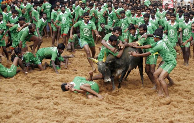 Taming bulls in India
