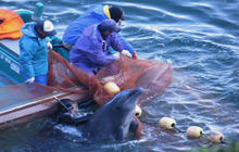 "Conservation group slams ""tradition"" of Japan's dolphin hunts"