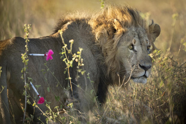 GPS for Kenya's lions