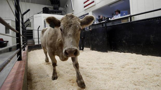 california_drought_calf.jpg