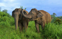 Elephants show empathy for distressed peers