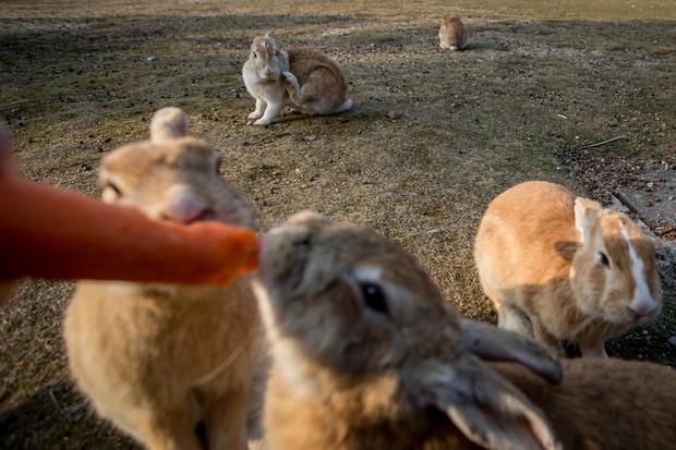 Japan's island of bunnies