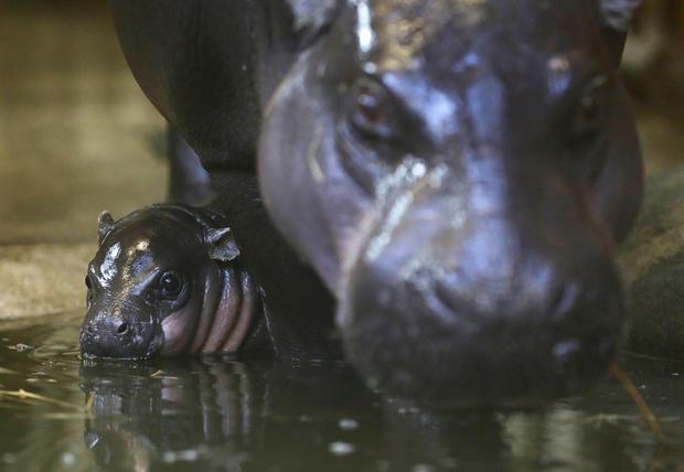 Tiny, rare hippo born in England
