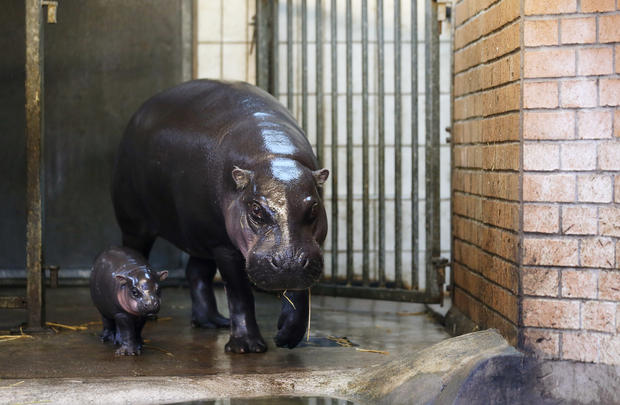 Tiny, rare hippo born in England