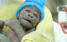 Baby Gorilla: It's a girl