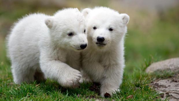 Polar Bear 42 D 25 German polar bear cubs...