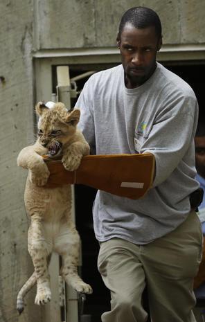 Lion cubs take sink-or-swim test
