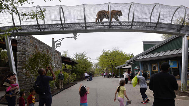 An Amur tiger walks over the new Big Cat Crossing as visitors look on at the Philadelphia Zoo in Philadelphia May 7, 2014.