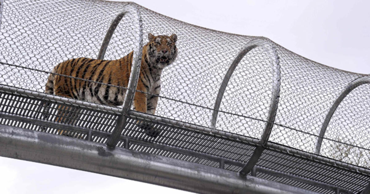 Big Cat Crossing At Philadelphia Zoo Lets Tigers Stray