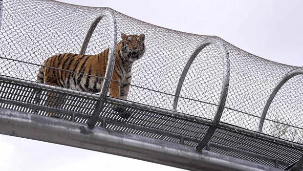 2014年5月7日,阿穆尔虎在费城动物园的新大猫过境点走过。