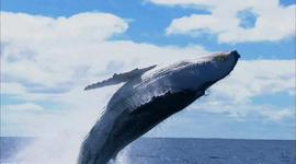 Return of the humpback